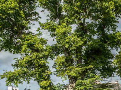 Chêne remarquable de Pleuven
