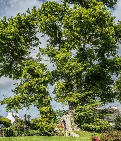 Chêne remarquable, Bourg de Pleuven
