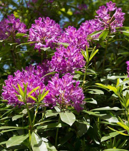 Rhododendrons, La Riviera Bretonne
