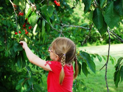 Les cerisiers de La Forêt-Fouesnant